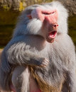 Howling baboon Royalty Free Stock Photos