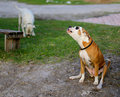 Howling dog a large howls in the foreground while another plays in the background Royalty Free Stock Photo