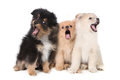 Howling Singing Pomeranian Puppies on White Background Royalty Free Stock Photo