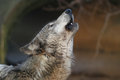Howling wolf a gray Royalty Free Stock Image