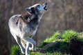 Howling wolf grey against a background of dark forest Royalty Free Stock Photos