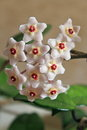 Hoya carnosa - Flowers - Close up - Italy Royalty Free Stock Photo