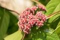 Hoya Hoya parasitica Roxb. Wall. Ex. Wight flowers. Royalty Free Stock Photo