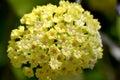 Hoya parasitica flowers Royalty Free Stock Photo