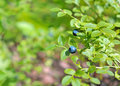 Huckleberry branch. Royalty Free Stock Image