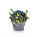 Huckleberry with planter  white Royalty Free Stock Photo