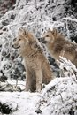Hudson Bay Wolves Royalty Free Stock Photo