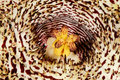 Huernia hystrix var hystrix the flower of Royalty Free Stock Photo