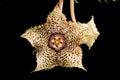 Huernia hystrix var hystrix the flower of Royalty Free Stock Image
