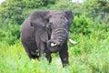 Huge African elephant bull Stock Photography