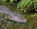 Huge aligator in the swamp Royalty Free Stock Photo