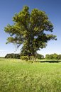 Huge alone tree with ladder vertical summer on the meadow to the hunting stand Stock Image