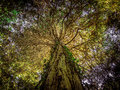 Huge ancient tree Royalty Free Stock Photo