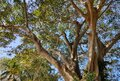 A huge beautiful tree in Bangladesh. Royalty Free Stock Photo