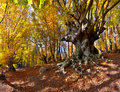 Huge beech Stock Image