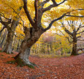 Huge beech in the forest Stock Photo