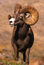 Huge Bighorn Sheep Ram Royalty Free Stock Photo