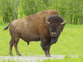Huge bison a male american in the prairie Royalty Free Stock Images