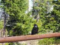 Black Raven Keeping Guard on Fence Rail with Forest Background