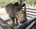 Huge black rhino in thailand zoo waiting to fruits Royalty Free Stock Photo
