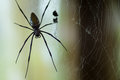 Huge Black Widow Spider Royalty Free Stock Photo