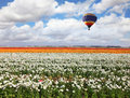 A huge bright balloon flies above picturesque field of colorful blooming buttercups Royalty Free Stock Photo