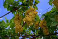 Huge bunches of grapes hanging from the vine i was walking down street in a small quiet town my hometown saw a that comes out yard Royalty Free Stock Image