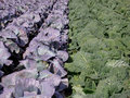 Huge Cabbage Field 3 Royalty Free Stock Images