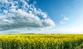 Huge canola colza rape field with beautiful clouds Royalty Free Stock Image
