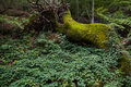 Huge Fallen Tree full of moss in the forest Royalty Free Stock Photo