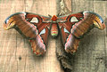 Huge female of Atlas moth Royalty Free Stock Photo