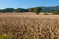 Huge field of dried corn stalks Royalty Free Stock Photo