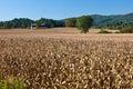 Huge field of dried corn stalks Royalty Free Stock Photo
