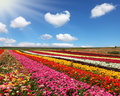 Huge field of red garden buttercups for export spring in the fields israel Stock Photos