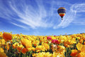 The huge field of white and orange buttercups ranunculus asiaticus beautiful spring weather beautiful big balloon flies over Stock Images