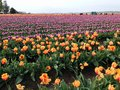 Huge fields of brightly colored spring tulips Royalty Free Stock Photo