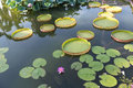Huge floating lotus,Giant Amazon water lily Royalty Free Stock Photo