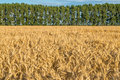 Huge gold wheat field under small forest at summer sunset Royalty Free Stock Photo