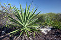 Huge green agave Royalty Free Stock Image