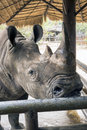 Huge head of black rhino in thailand zoo waiting to fruits Stock Photography