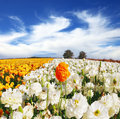 Huge kibbutz field of buttercups multi colored ranunculus asiaticus the wonderful spring weather light clouds flying across a blue Stock Photo