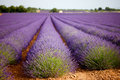 Huge lavender field in Vaucluse, Provence, France. Royalty Free Stock Photo