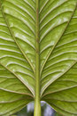 Huge leaf - Ecuador Royalty Free Stock Image