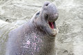 Huge male elephant seal roaring his dominance Stock Images