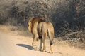 Huge male Lion walking on dirt road Royalty Free Stock Photo