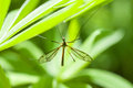 A huge mosquito macro photography of insects in nature Stock Photography