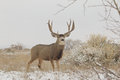 Huge Mule Deer Buck in Field Royalty Free Stock Photo