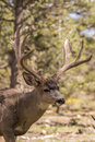 Huge Mule Deer Buck Portrait Royalty Free Stock Photo