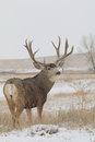 Huge Mule Deer Buck Royalty Free Stock Photo