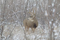 Huge mule deer buck in snow a large standing thick brush on a snowy day Stock Photos